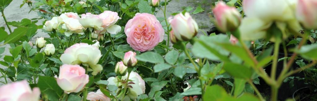 róże tło
